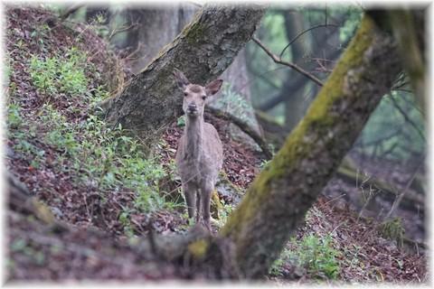 20170513天城の鹿 (1).JPG