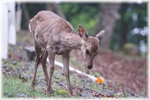 20170513天城の鹿 (3).JPG